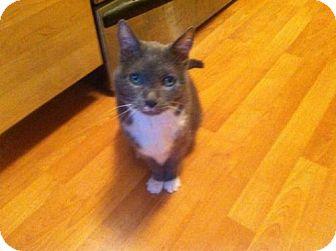 Domestic Shorthair Cat for adoption in St. Paul, Minnesota - Ashley