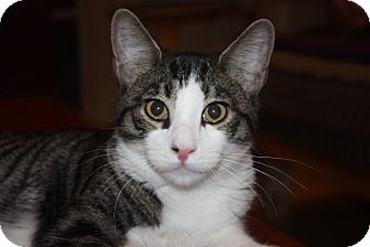 Domestic Shorthair Cat for adoption in Little Falls, New Jersey - Forrest (LE)