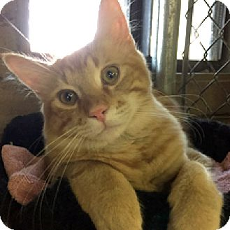 Domestic Mediumhair Cat for adoption in Phoenix, Arizona - Moose