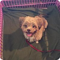 Adopt A Pet :: Corbin Bearinstain - Mount Gretna, PA