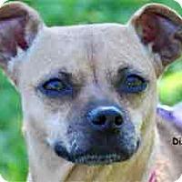 Miniature Pinscher Mix Dog for adoption in Warren, Pennsylvania - Dixie