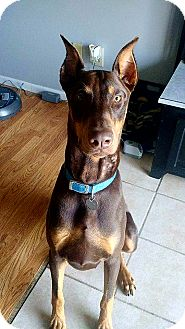 Doberman Pinscher Puppy for adoption in Lafayette, Indiana - Loki