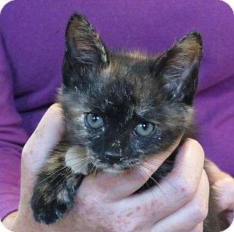 Domestic Shorthair Kitten for adoption in Unionville, Pennsylvania - Sabrina
