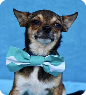 Chihuahua Dog for adoption in Picayune, Mississippi - COURTESY POST - Bert