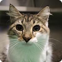 Adopt A Pet :: Swislet - Sarasota, FL