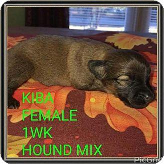 Hound (Unknown Type) Mix Puppy for adoption in Pomfret, Connecticut - KIBA