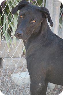 Labrador Retriever Mix Dog for adoption in Mahwah, New Jersey - Durango NEW VIDEO