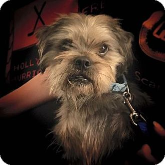 Yorkie, Yorkshire Terrier/Shih Tzu Mix Dog for adoption in Newfield, New Jersey - Cowboy