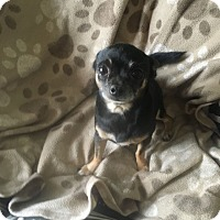 Adopt A Pet :: SQUEAK - 3 YEAR CHIHUAHUA MALE - Mesa, AZ