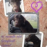 Labrador Retriever Mix Dog for adoption in Colmar, Pennsylvania - Jasper