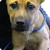 Adopt A Pet :: Shep-Adopted - Decatur, GA