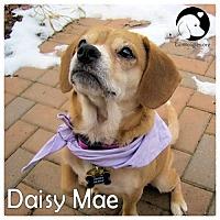 Adopt A Pet :: Daisy Mae - Novi, MI