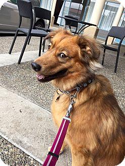 Chow Chow/Shepherd (Unknown Type) Mix Dog for adoption in San Francisco, California - Mia