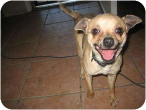 Chihuahua Mix Dog for adoption in Phoenix, Arizona - Buck