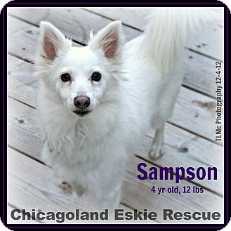 American Eskimo Dog Dog for adoption in Elmhurst, Illinois - Sampson