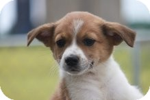 Chihuahua/Jack Russell Terrier Mix Puppy for adoption in Russellville, Kentucky - Stevie