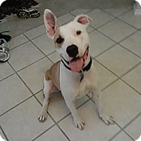 Adopt A Pet :: Chance - Austin, TX
