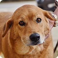 Adopt A Pet :: Calli - New Canaan, CT