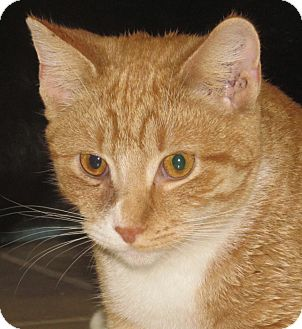 Domestic Shorthair Cat for adoption in New Windsor, New York - Cameron
