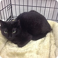 Domestic Shorthair Cat for adoption in Highland Park, New Jersey - Bocce Ball