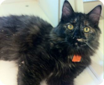Calico Cat for adoption in Riverside, California - Amaya
