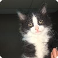 Adopt A Pet :: Beemer - Medina, OH