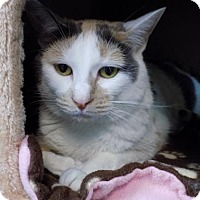 Domestic Shorthair Cat for adoption in Edwardsville, Illinois - Winifred