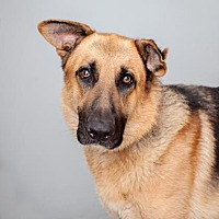 German Shepherd Dog Mix Dog for adoption in Mission Hills, California - Blaine