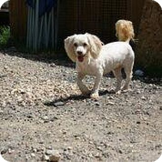 Poodle (Miniature)/Shih Tzu Mix Dog for adoption in Hankamer, Texas - Lil Bunny Foo Foo