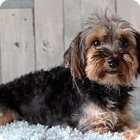 Adopt A Pet :: Mr Tangles - Waldorf, MD