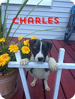 American Pit Bull Terrier Mix Puppy for adoption in Garden City, Michigan - Charles