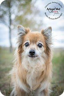 Pomeranian Mix Dog for adoption in Cheyenne, Wyoming - China