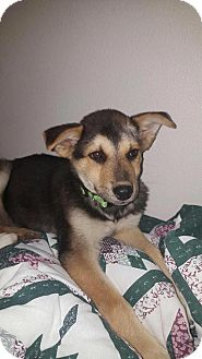 Husky/Shepherd (Unknown Type) Mix Puppy for adoption in Denver, Colorado - Sparky