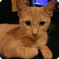 Adopt A Pet :: Odysseus - Middletown, OH