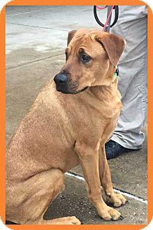 Rhodesian Ridgeback/Coonhound Mix Dog for adoption in Allen, Texas - Hershey
