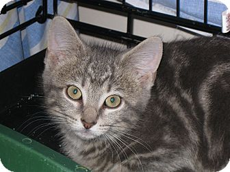 Domestic Shorthair Kitten for adoption in Fort Wayne, Indiana - Taz