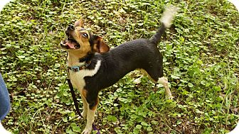 Rat Terrier Mix Dog for adoption in Richmond, Virginia - Gumby (photolink)