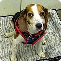 Adopt A Pet :: Polly - Novi, MI