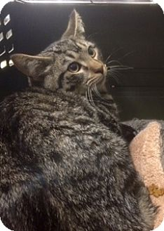 Domestic Shorthair Kitten for adoption in Turnersville, New Jersey - Sven H