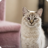 Adopt A Pet :: Sophie - Fountain Hills, AZ