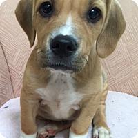 Adopt A Pet :: Norman - Schaumburg, IL