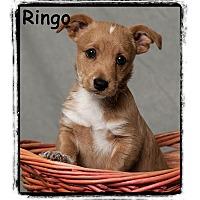 Adopt A Pet :: Ringo - Warren, PA