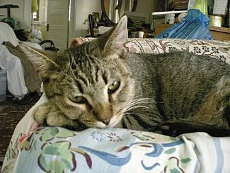 Domestic Shorthair Cat for adoption in Los Angeles, California - Oscar