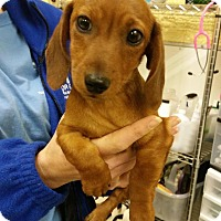 Adopt A Pet :: Baxter - Berkeley Heights, NJ