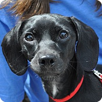 Adopt A Pet :: Delia - Atlanta, GA