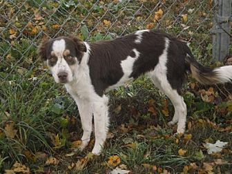 Brittany/Border Collie Mix Dog for adoption in Brewster, Massachusetts - TN/Addy