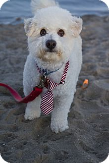 Bichon Frise Mix Dog for adoption in Orange, California - Valentino