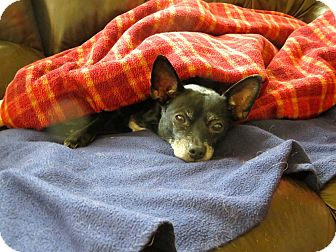 Chihuahua Mix Dog for adoption in Rockville, Maryland - Cala (pronounced KAY-lah)