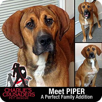 Hound (Unknown Type) Mix Dog for adoption in Spring City, Pennsylvania - Piper