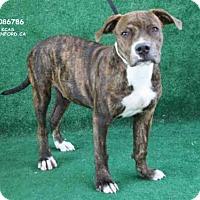 Adopt A Pet :: TIGER - Hanford, CA